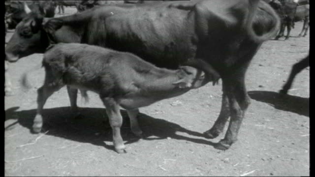 journey through sicily donkey standing next to stone cottage / farmer using dairy cows to pull a wooden plough / sheep grazing in field bronte mule... - stone object stock videos and b-roll footage