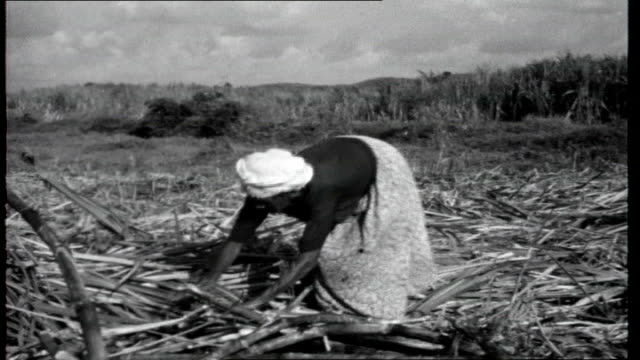 Portrait of Brazil Sugar cane blowing in the wind Sugar cane as cut with machette Sugar cane cutters working Supervisor sitting on horse watching...