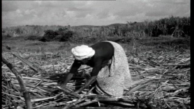 vídeos de stock, filmes e b-roll de portrait of brazil sugar cane blowing in the wind sugar cane as cut with machette sugar cane cutters working supervisor sitting on horse watching... - sugar cane