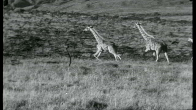 the white highlands; tracking shots along road heading for the white highlands, passing giraffes at side of road various shots of giraffes walking... - major road stock-videos und b-roll-filmmaterial