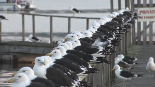 MS Row of black-backed gulls perching on  wooden fence / Unspecified, Western Cape, South Africa
