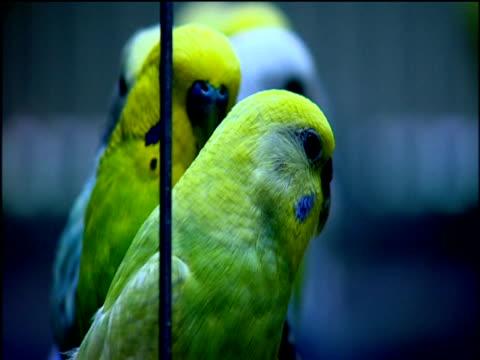 row of budgies on swing in cage - wellensittich sittich stock-videos und b-roll-filmmaterial
