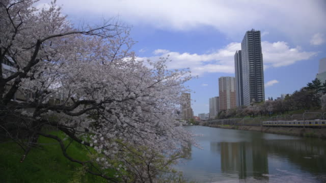 A Row Of Cherry Trees, Tokyo