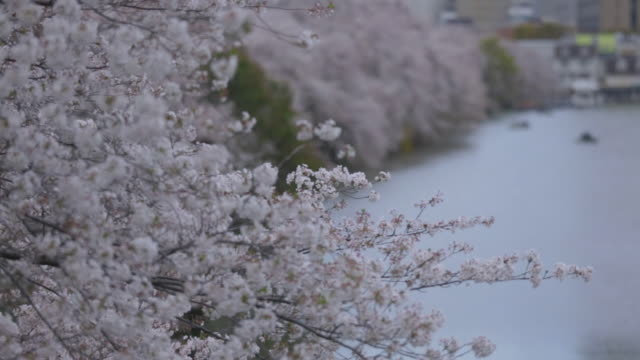 a row of cherry trees, tokyo - cherry blossom stock videos & royalty-free footage