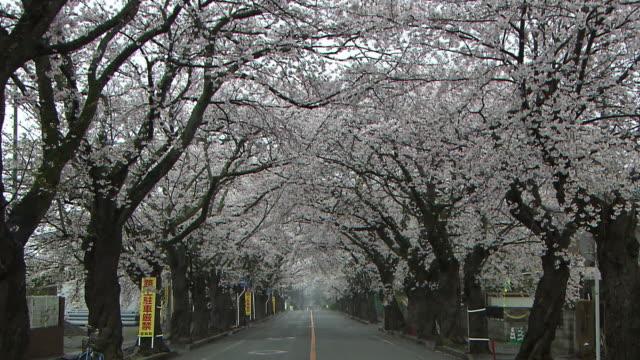 a row of cherry trees, tomioka, fukushima, japan - treelined stock videos & royalty-free footage