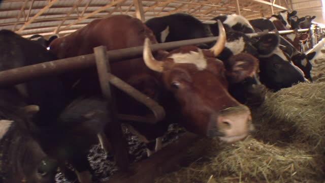 vidéos et rushes de cu, ds, row of dairy cows feeding, joliet, illinois, usa - confinement