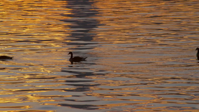 row of ducks leisurely float along the hudson river water that reflects an orange sunset. - duck stock videos & royalty-free footage