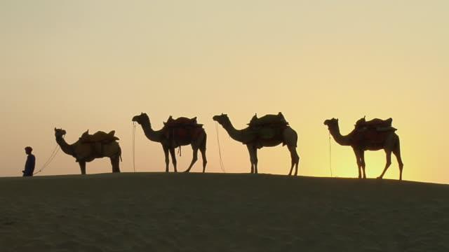 vídeos y material grabado en eventos de stock de ms, row of four camels in sam desert, jaisalmer, rajasthan, india - cuatro animales