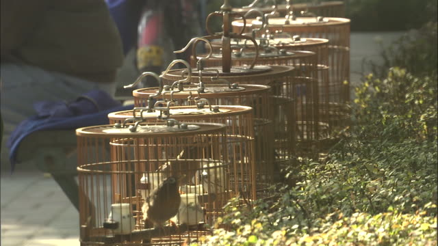 row of melodius laughingthrushes in cages in park, beijing. - songbird stock videos & royalty-free footage