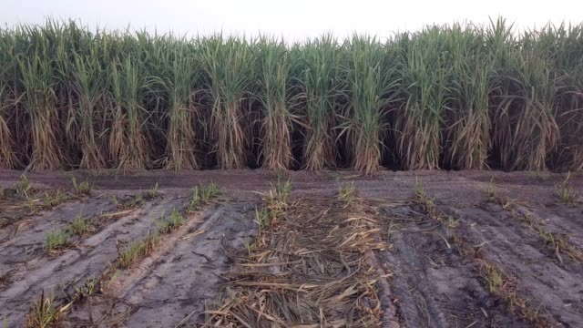 a row of sugar cane plant at sunrise - reed grass family stock videos & royalty-free footage