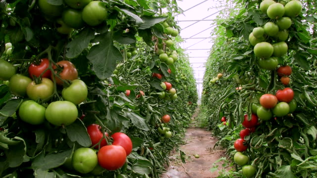 MS Row of tomato plants at greenhouse / Serrig, Rhineland-Palatinate, Germany