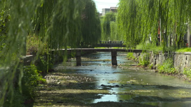 row of willow trees alongside shirakawa river, kyoto, japan - kyoto stock videos and b-roll footage