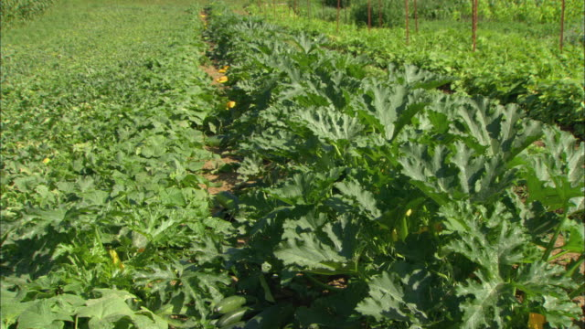MS Row of zucchini plants in organic farm field / Troutdale, Oregon, USA