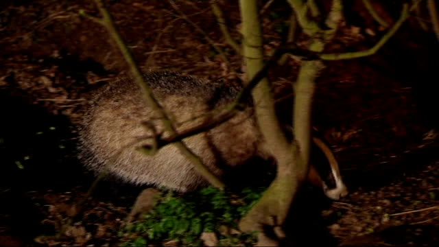 row over badger tb vaccination plans r27020806 various of badger foraging in undergrowth - foraging stock videos and b-roll footage