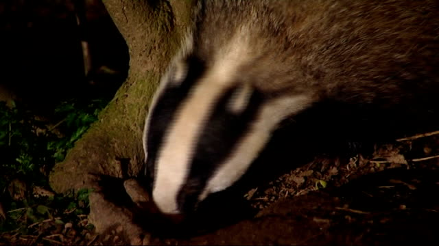 row over badger tb vaccination plans r27020806 badger foraging in undergrowth - foraging stock videos and b-roll footage