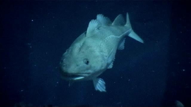 row over labelling of organically-farmed cod; england: hull: underwater shot fish swimming - タラ点の映像素材/bロール