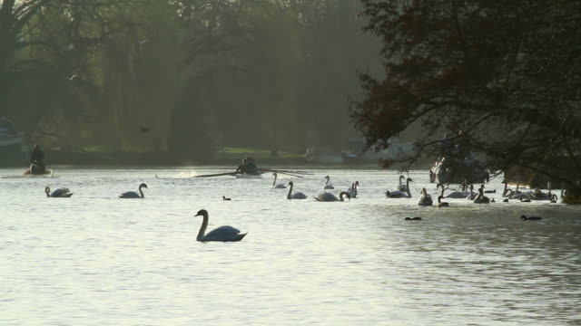 stockvideo's en b-roll-footage met  ms row team rowing with swans swimming thames river / wiltshire, england, united kingdom - wiese