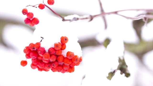 rowan berries covered with snow. - land stock videos & royalty-free footage