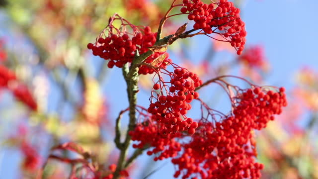rowan, or mountain ash berries on a tree in holehi - ash tree stock videos & royalty-free footage