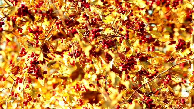 Rowan tree in autumn season