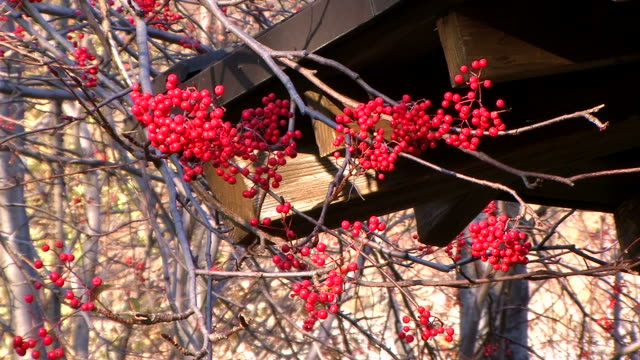 HD: Rowanberry against forest (video)