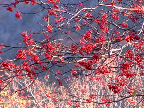 PAL: Rowanberry against nacked branches (video)