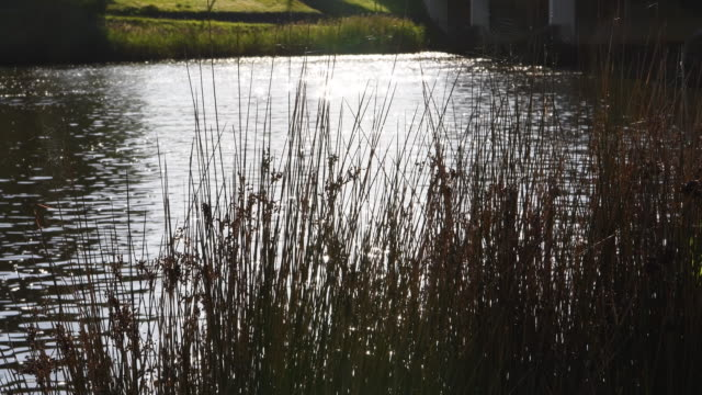 rowers on the yarra river in melbourne on november 11 2016 in melbourne australia - reed grass family stock videos & royalty-free footage