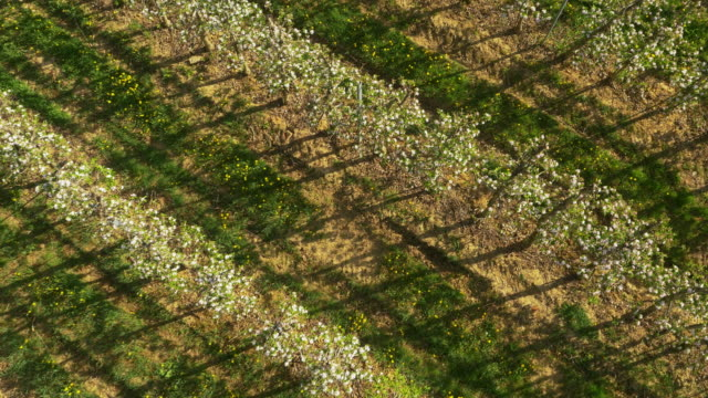 aerial rows of apple trees in the orchard - apple tree stock videos & royalty-free footage