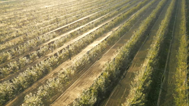 AERIAL Rows Of Apple Trees