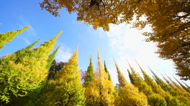 rows of autumn leaves gingko trees stand along the both side of the gingko tree avenue, and clouds move in the sky at jingu gaien, chhiyoda ward, tokyo japan on november 16 2017. - treelined stock videos & royalty-free footage