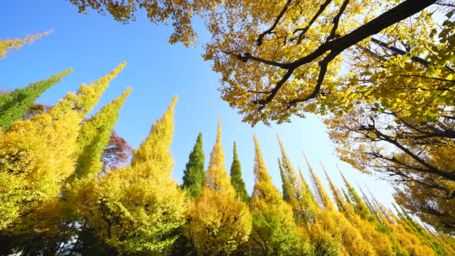 rows of autumn leaves gingko trees stand in the blue sky along the both side of the gingko tree avenue at jingu gaien, chhiyoda ward, tokyo japan on november 17 2017. - alberato video stock e b–roll