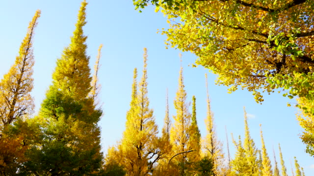 rows of autumn leaves ginkgo tree stand in the blue sky at the ginkgo tree avenue in jingu gaien, chhiyoda ward, tokyo japan on november 17 2017. clouds move over the ginkgo trees. - alberato video stock e b–roll