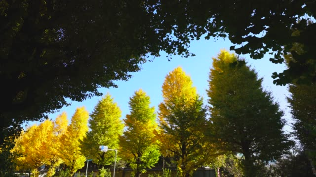 rows of autumn leaves ginkgo trees stand along both side of the street at ochanomizu, bunkyo ward tokyo japan on november 25 2017. - alberato video stock e b–roll