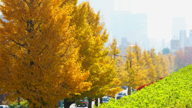 rows of autumn leaves ginkgo trees stand along the street toward foggy shibuya town at harajuku district shibuya tokyo japan on november 29 2017. cars go through behind the tree-lined street. cityscape of foggy shibuya town can be seen behind. - satoyama scenery stock videos & royalty-free footage