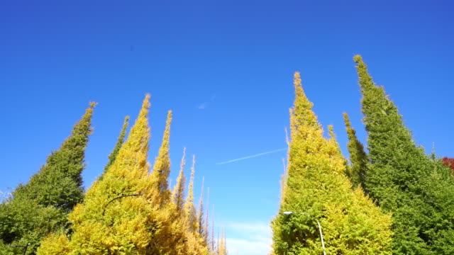 rows of autumn leaves ginkgo trees stand in the blue sky along both side of the ginkgo tree avenue at jingu gaien, chhiyoda ward, tokyo japan on november 19 2017. - treelined stock videos & royalty-free footage