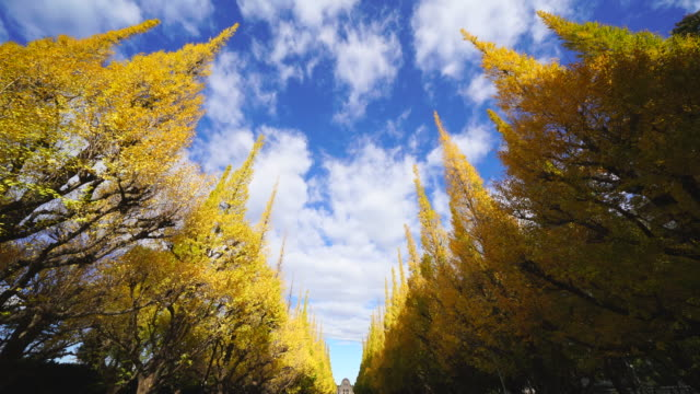 rows of autumn leaves ginkgo trees stand in the blue sky along the both side of the ginkgo tree avenue, and clouds move over the trees in the sky at jingu gaien, chhiyoda ward, tokyo japan on november 19 2017. - alberato video stock e b–roll