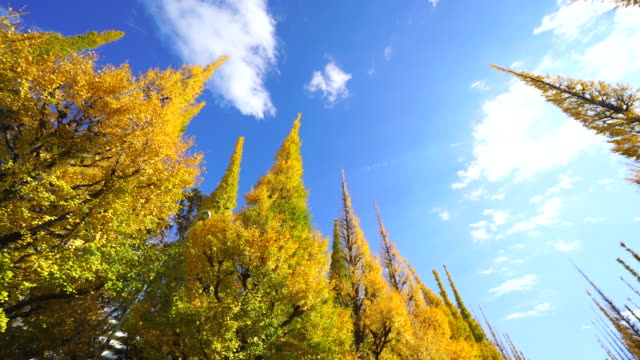 rows of autumn leaves ginkgo trees stand in the blue sky along the both side of the ginkgo tree avenue, and clouds move over the trees in the sky at jingu gaien, chhiyoda ward, tokyo japan on november 19 2017. - autumn leaf color stock videos and b-roll footage