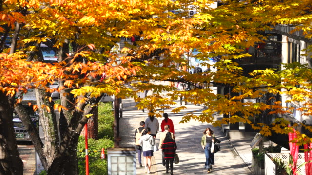 rows of autumn leaves zelkova trees stand along omotesando (frontal approach to meiji jingu shrine) between harajuku and aoyama district shibuya tokyo japan on november 26 2017. people walk on the sidewalk under the autumn color leaves. - shrine stock videos & royalty-free footage