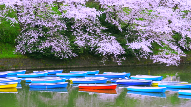 Rows of boats float on the calm moat, which are surrounded by full-bloomed Cherry blossoms at Chidorigafuchi Moat in the Morning. A ripple spreads through the calm moat. Cherry blossoms and boats reflect to water surface.