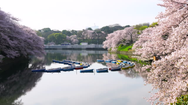 Rows of boats float on the calm moat, which are surrounded by full-bloomed Cherry blossoms at Chidorigafuchi Moat in the Morning. Traffic of Tokyo Expressway can be seen behind moat. Moving motor vehicles reflect to moat.