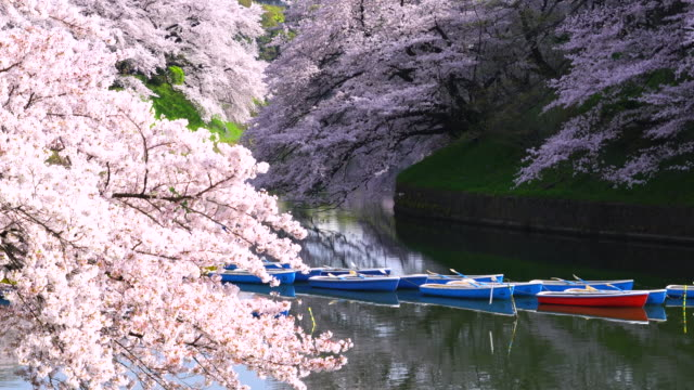 Rows of boats float on the calm moat, which are surrounded by full-bloomed Cherry blossoms at Chidorigafuchi Moat in the Morning.