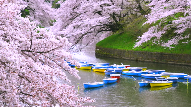 rows of boats float on the moat, which are surrounded by full-bloomed cherry blossoms at chidorigafuchi moat. - 桜の花点の映像素材/bロール