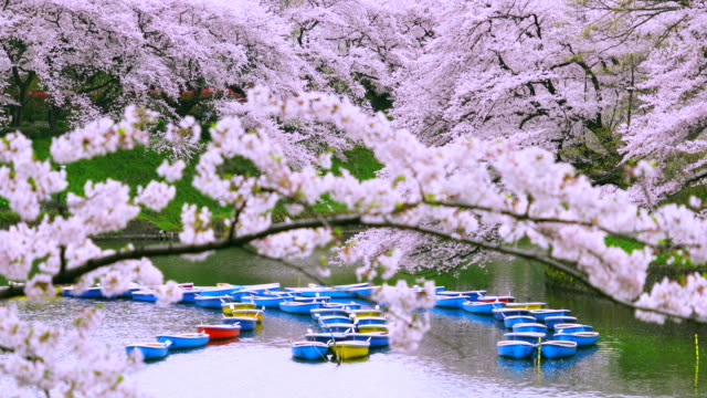 Rows of boats float on the moat, which are surrounded by full-bloomed Cherry blossoms at Chidorigafuchi Moat.