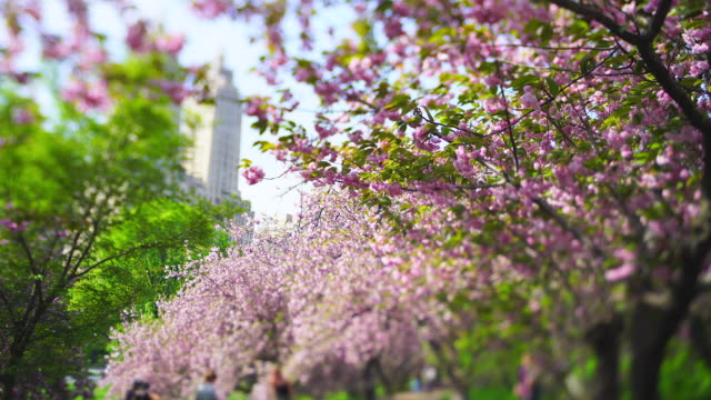 rows of cherry blossom trees stand along the footpath, which surround the footpath and people in central park new york city ny usa on may 02 2019. the san remo tower can be seen behind. - remo stock videos and b-roll footage
