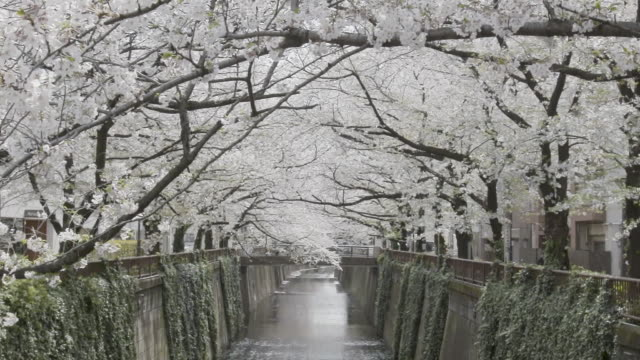 rows of cherry blossoms in bloom during the sakura festival in tokyo, japan. - blossom stock videos & royalty-free footage