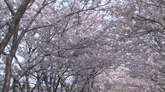 rows of cherry trees form a tunnel of blossoms. - low angle view点の映像素材/bロール