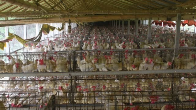 rows of chickens in battery cages feed at an egg laying poultry farm in savar outskirts of dhaka in bangladesh. poultry farm is one of the largest... - chicken bird stock videos & royalty-free footage