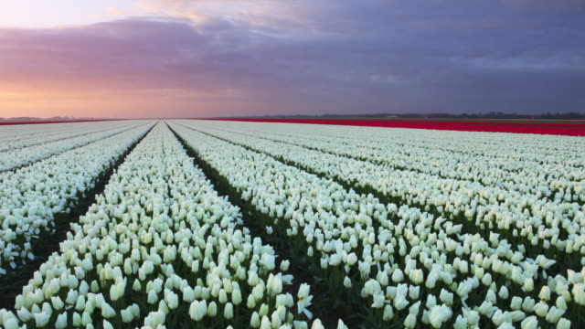 rows of colourful tulips at sunrise in the netherlands - tulip stock videos and b-roll footage