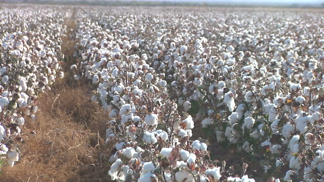 ms rows of cotton plants / van horn, texas, united states - cotton stock videos and b-roll footage