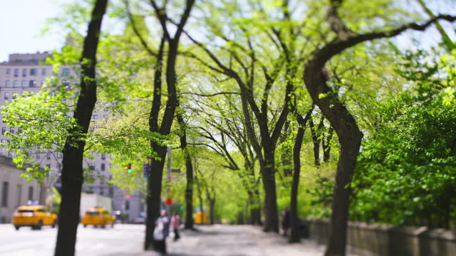 rows of fresh green trees grow on the sidewalk between fifth avenue traffic and central park at new york city ny usa on apr. 27 2019. - fifth avenue stock videos & royalty-free footage
